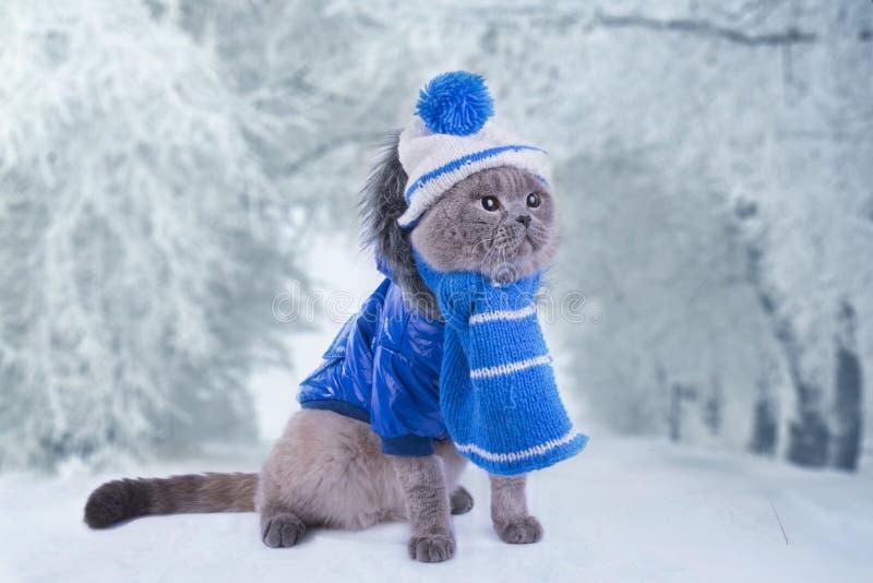 Scottish-Faltenkatze in einem Mantel geht auf die Straße im Winter stockfotos