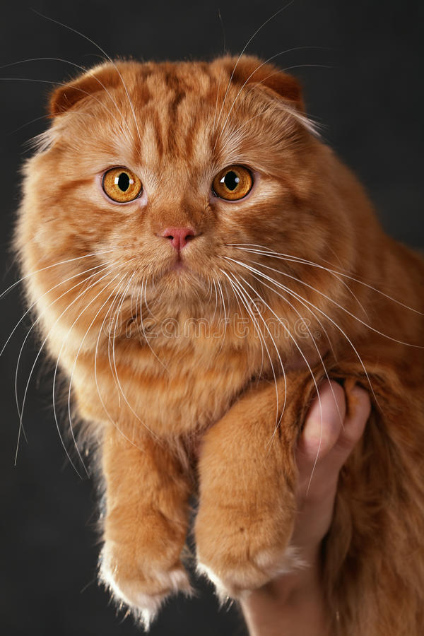 Download Scottish Fold stock photo. Image of purebred, haired - 24474044