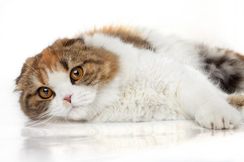 Download Scottish fold stock image. Image of domestic, looking - 27350489