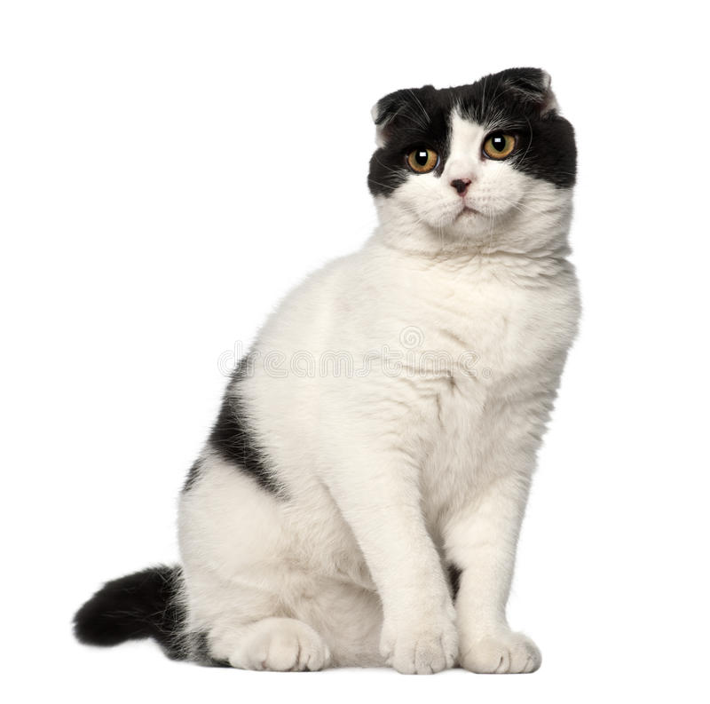 Download Scottish Fold, 6 Months Old, Sitting Stock Photography - Image: 26643752