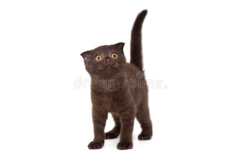 Scottish fold black kitten royalty free stock images