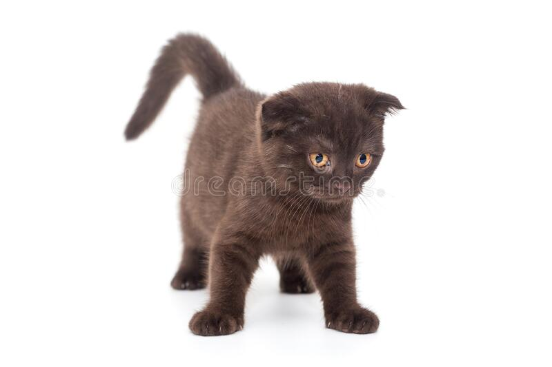 Scottish fold black kitten stock image