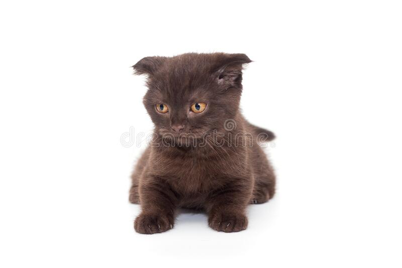 Scottish fold black kitten stock photography