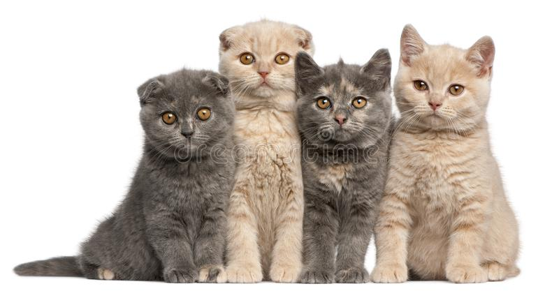 Scottish Fold and British Shorthair kittens, 10 weeks old royalty free stock images