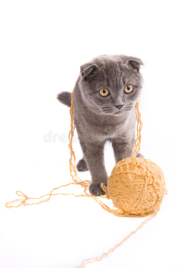 Scottish fold cat. Is playing with clew. Cat with ball royalty free stock images