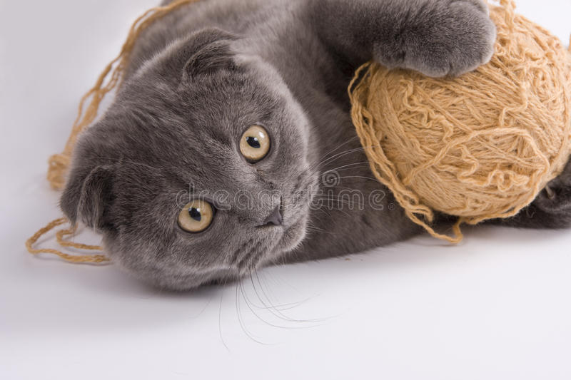 Scottish fold cat. Is playing with clew. Cat with ball stock photo