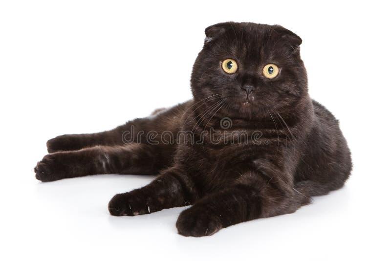 Scottish Fold cat. On white background stock photography