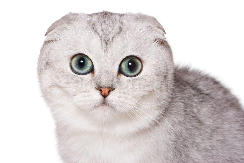 Scottish fold cat. On white royalty free stock photos