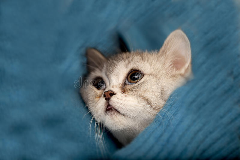 Scottish Fold cat. Looks at somewhere royalty free stock photography