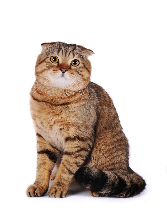Scottish fold cat. Portrait of scottish fold cat sitting isolated on white background royalty free stock images