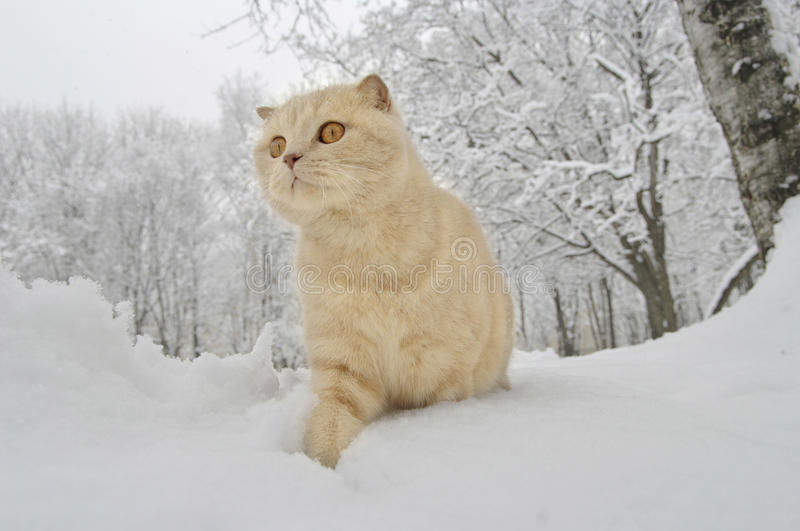 Scottish Fold cat. Walking on a snow royalty free stock photos