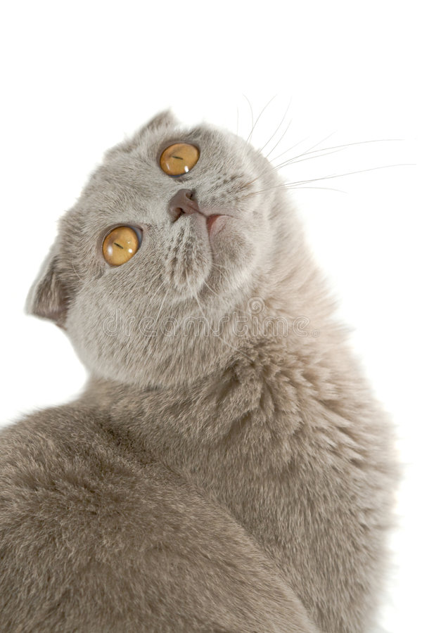 Download Scottish fold cat stock image. Image of enjoyment, beast - 3847719