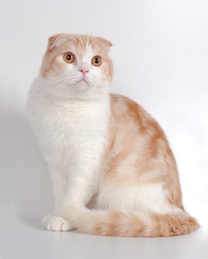 Scottish fold cat. Red-white scottish fold cat sits stock images