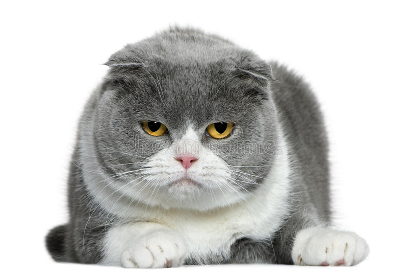 Scottish Fold Cat, 5 Years Old, Lying Stock Photography