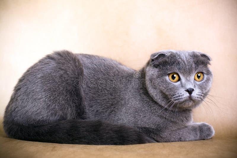 Scottish fold cat. Portrait of a Scottish fold cat on a brown background. Studio shot stock photography