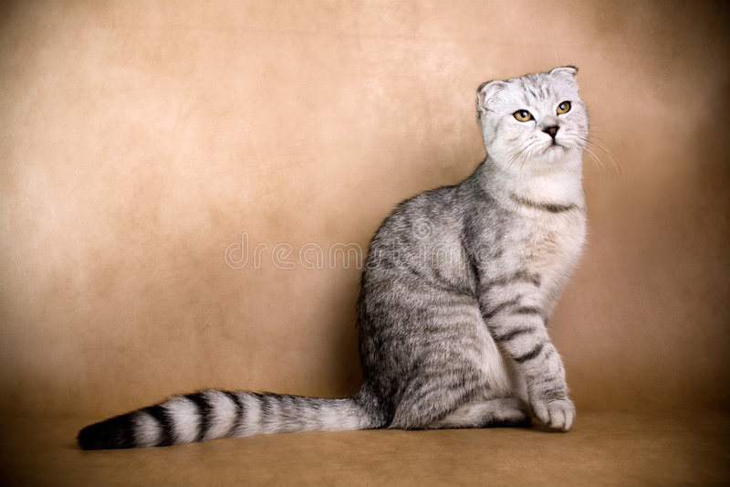 Scottish fold cat. Portrait of a Scottish fold cat on a brown background. Studio shot stock photos