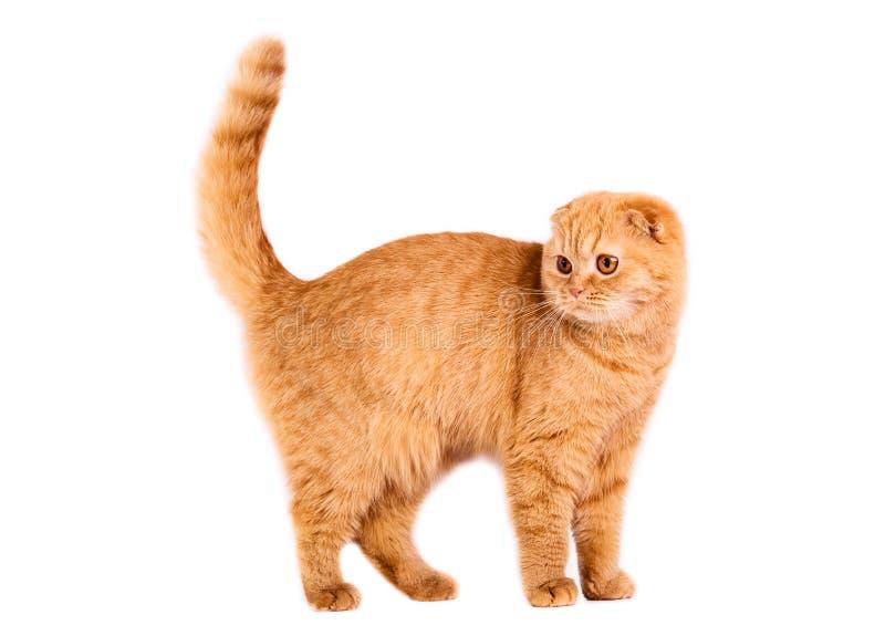 Scottish fold cat. Portrait of a Red Scottish fold cat on a white background. Studio shot stock images
