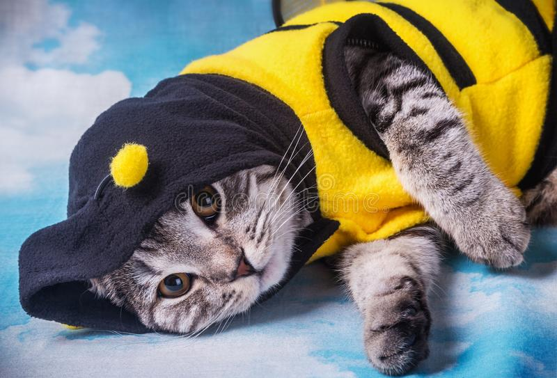 Scottish fold cat in the bee costume royalty free stock photo