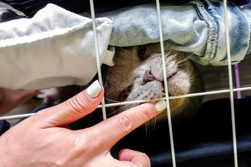 Scottish Fold cat bites a finger throug a net. Top view.  royalty free stock photography