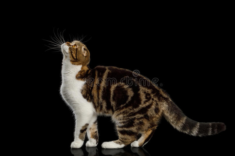 Scottish Fold Cat on Black Background. Scottish Fold Cat with tabby Standing and Looking up isolated on Black Background royalty free stock photos