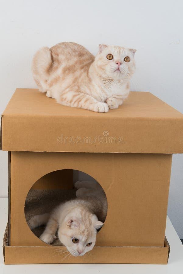 Scottish fold cat stock images