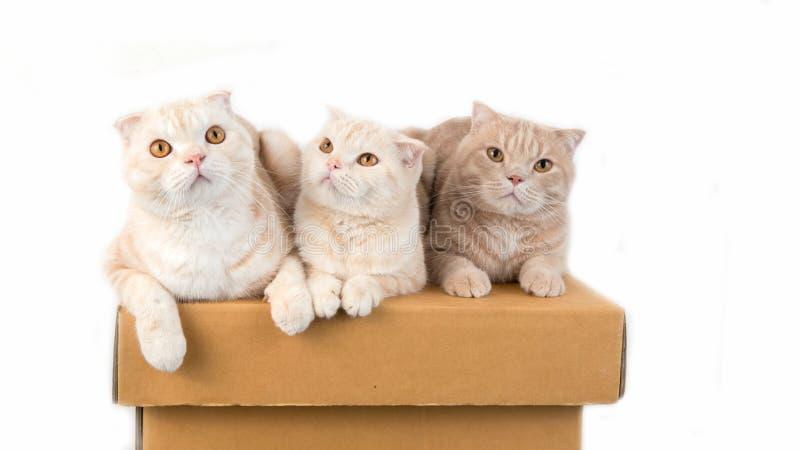 Scottish fold cat. On the box stock image