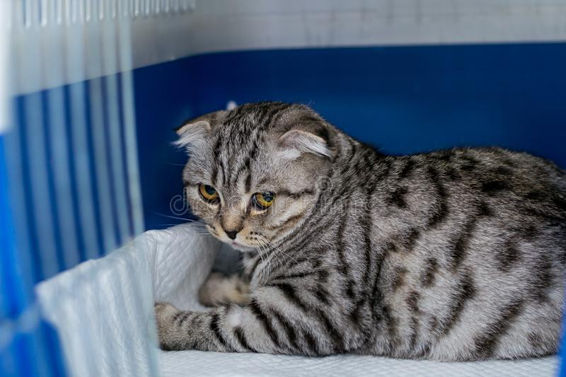 Scottish fold cat breed in the cage at the veterinary clinic after surgery, recovering from anesthesia. Anesthesia in royalty free stock photos