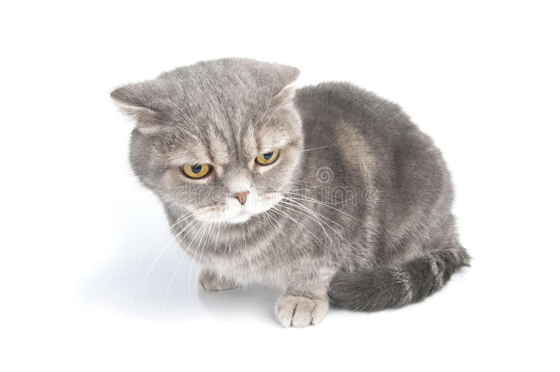 Scottish Fold cat breed looks down. Studio photography on a white background stock photo