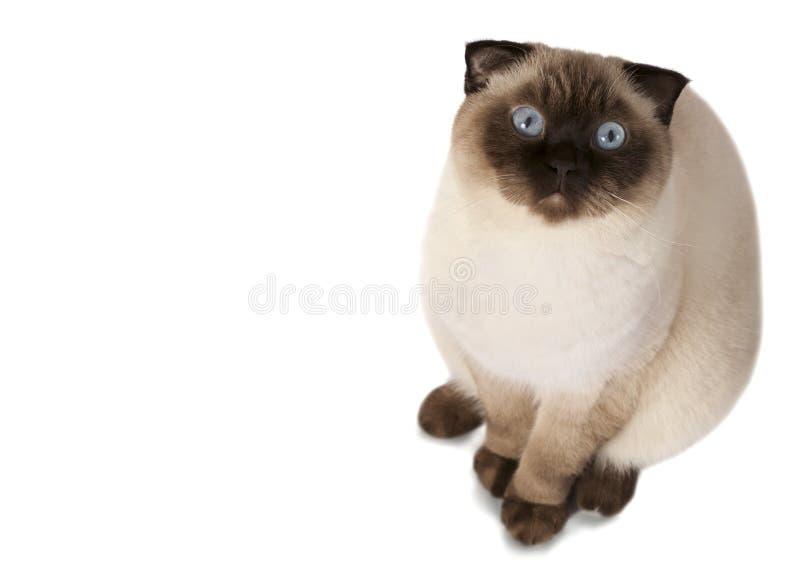 Scottish Fold cat. Close up of a beautiful Scottish Fold cat with blue eyes isolated on white background royalty free stock photography