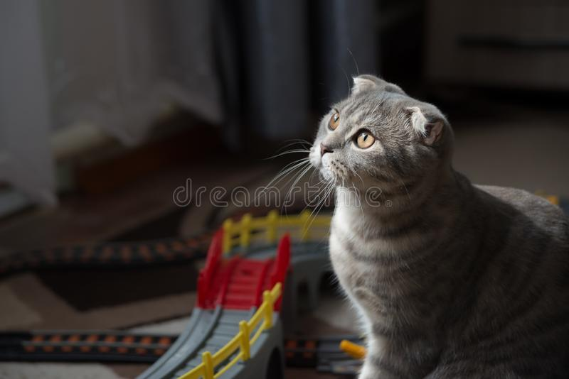 Scottish fold cat. Close-up portrait of a gray Scottish fold cat in the backlight against the background of toys in the children`s room stock images