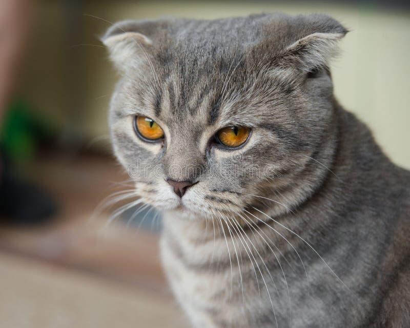 Scottish fold cat. Close-up portrait of a sad gray Scottish fold cat with yellow eyes stock image
