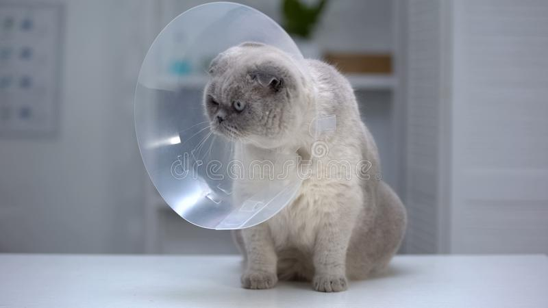 Scottish fold cat in cone collar nervous after sterilization surgery, recovery stock photos