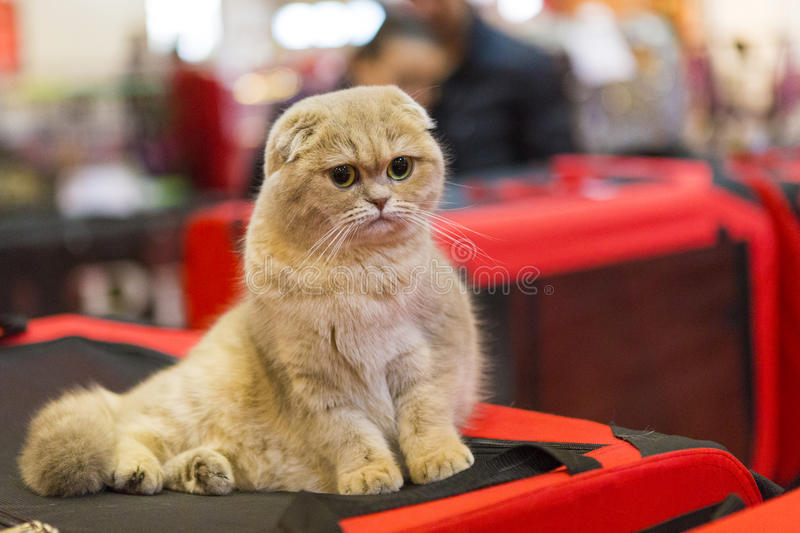 Scottish fold cat. At a cat contest in Bucharest, Romania royalty free stock photo