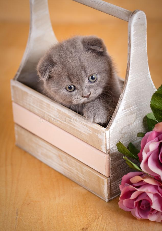 Scottish Fold Cat in decorative wooden box near bouquet of flowers. Cat at home. Scottish fold cat portrait stock image