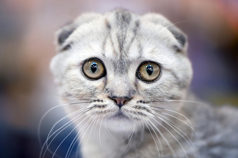 Scottish fold cat with forward-folded ears. Close-up (shallow focus stock images