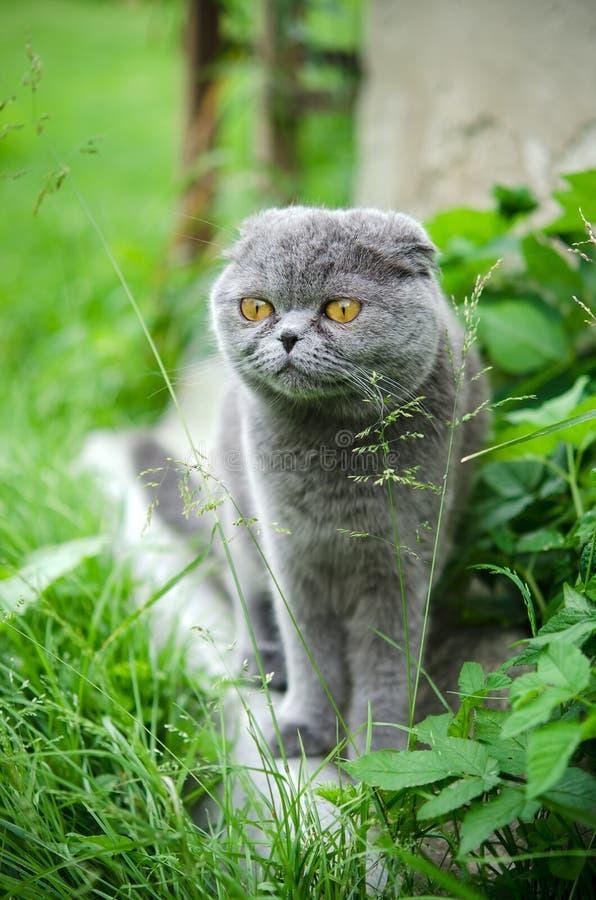 Scottish fold cat. On the grass outdoor stock photo