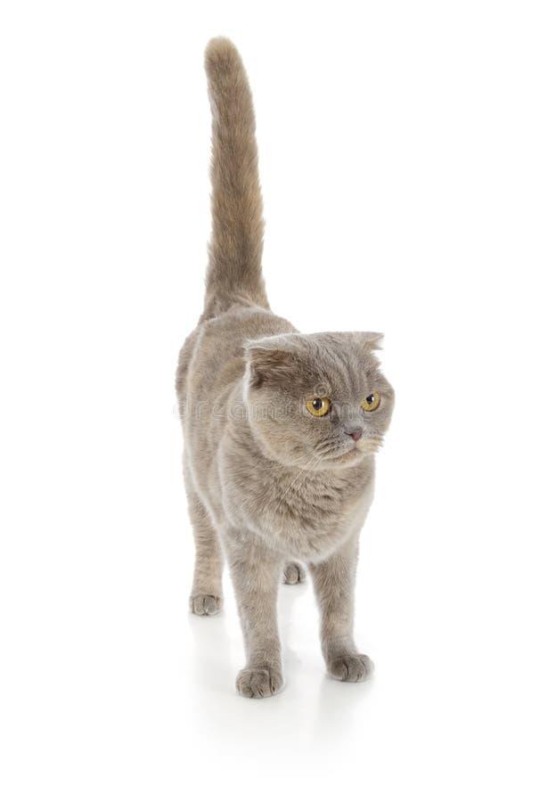 Scottish fold cat. Isolated on white background royalty free stock photo