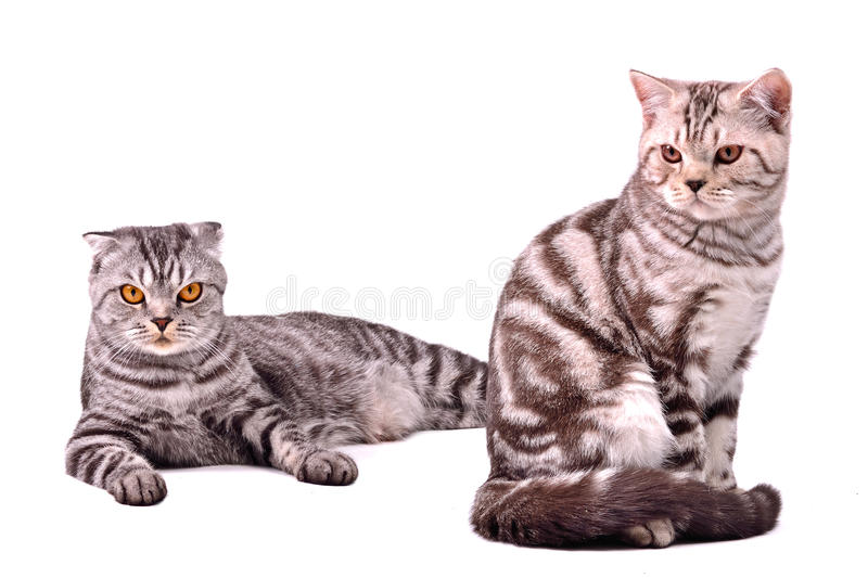 Scottish fold cat and kitten isolated. On white background royalty free stock images