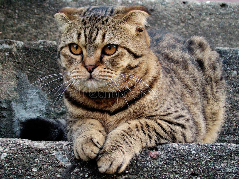 Scottish fold cat. Lies on steps stock photos