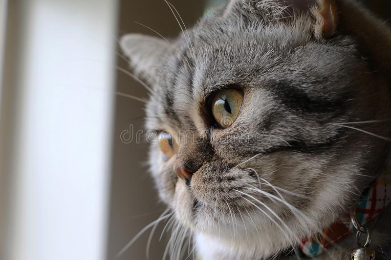 Scottish fold cat looking out a window royalty free stock image
