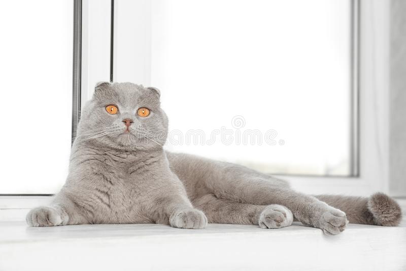 Scottish fold cat lying on sill near white window. Scottish fold cat lying on sill near white plastic window stock photos