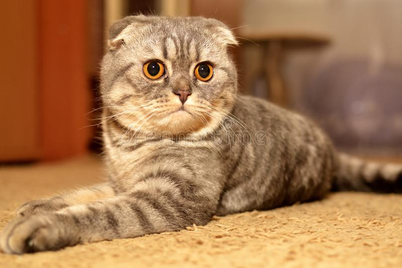 Scottish Fold cat pet. Scottish Fold cat, pet, watching you, stock photo stock images