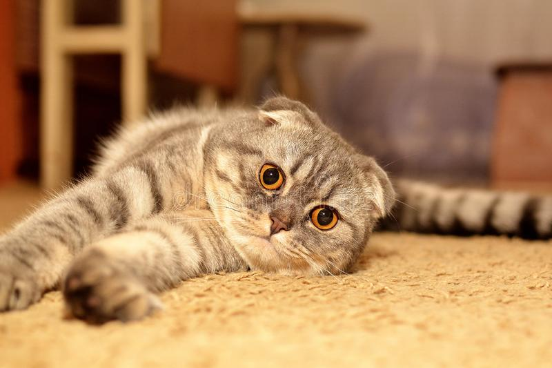 Scottish Fold cat pet. Scottish Fold cat, pet, watching you, stock photo royalty free stock image