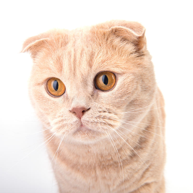 Scottish fold cat. Portrait looking straight on the white background stock photography