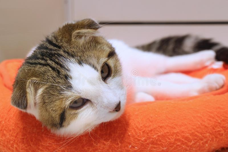 Scottish fold cat. Scottish fold breed cat on a pet bed. White-tabby color mix stock image