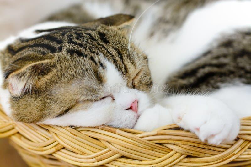 Scottish fold cat sleep. In basket stock photo