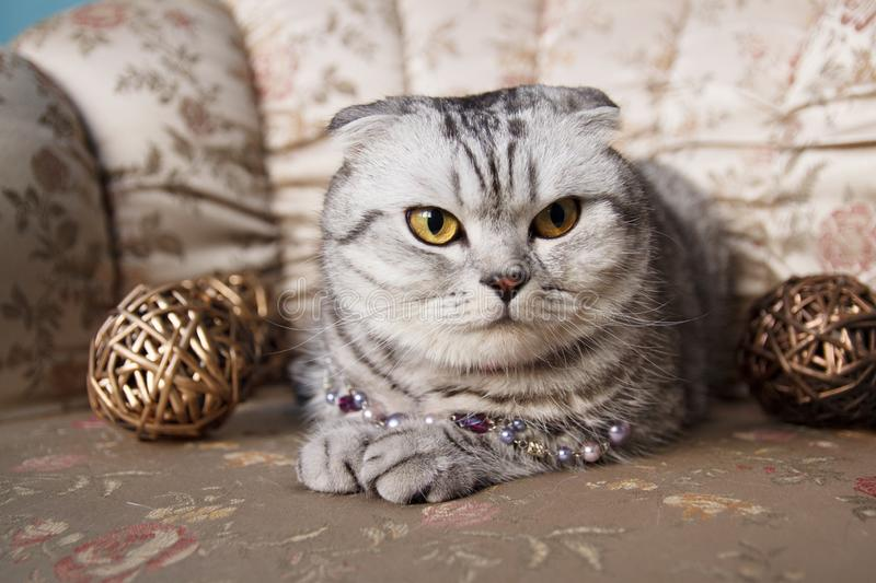 Scottish Fold Cat On A Sofa. A tabby scottish fold cat with chaplet and two painted gold wood balls on a sofa in a studio royalty free stock photography