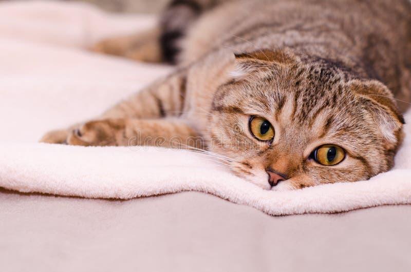 Scottish Fold cat tabby. Sleepy cat lying on the bed royalty free stock image