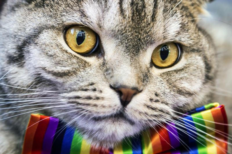 Scottish fold cat in a tie butterfly rainbow colors royalty free stock photos