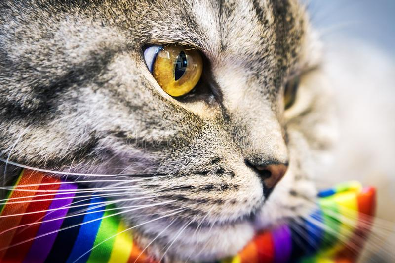 Scottish fold cat in a tie butterfly rainbow colors stock image